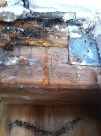 Toxic black mold on wood caused by leaky roof.